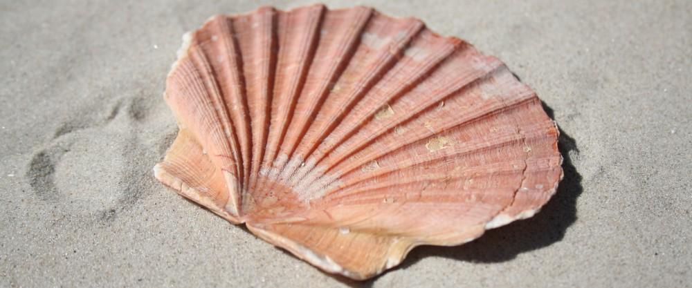 Strandmuschel Fehmarn
